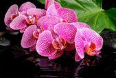 Concept de spa de rameau fleuri dépouillé violette orchidée (phalaenopsi — Photo