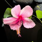 Beautiful spa concept  of delicate pink hibiscus, green tendril  — Stock Photo