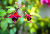 Blossoming branch red and dark-cherry fuchsia in nature, — Stock Photo