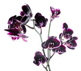 Branch beautiful dark cherry with white rim orchid, phalaenopsis — Stock Photo