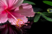 Beautiful spa setting of delicate pink hibiscus, green tendril p — Stock Photo