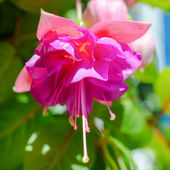 Blossoming branch exotic colorful fuchsia on blue sky — Stock Photo