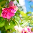 Blossoming beautiful colorful fuchsia flower outdoor background, — Stock Photo #50354445