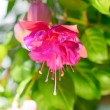 Blossoming beautiful colorful fuchsia flower outdoor background, — Stock Photo