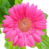 Large pink daisy flower gerbera with leafs is isolated on white — Stock Photo