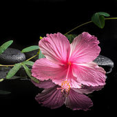Spa concept  of  blooming pink hibiscus and green tendril passio — Stock Photo