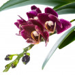 Постер, плакат: Blooming branch deep purple with drops orchid phalaenopsis is i