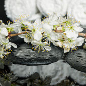 Spa set of zen stones, blooming twig of plum with reflection on  — Stock Photo