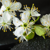Beautiful Spa concept of zen stones with drops and blooming twig — Stock Photo