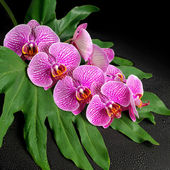Beautiful blooming twig of stripped violet orchid (phalaenopsis  — Stock Photo