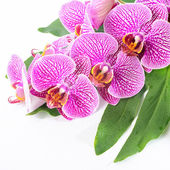 Beautiful spa concept of blooming branch stripped violet orchid  — Stock Photo