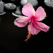 Beautiful spa setting of  blooming pink hibiscus and zen stones  — Stock Photo