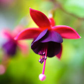 Blossoming beautiful red and dark-cherry fuchsia in nature — Stock Photo