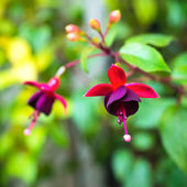 Blossoming branch red and dark-cherry fuchsia in nature — Stock Photo