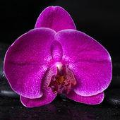 Beautiful spa concept  of deep purple orchid (phalaenopsis) on z — Stok fotoğraf