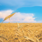 Wheat spike on a gold blurred background with blue sky  — Stock Photo