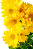 Fresh yellow chrysanthemum is isolated on white background, clos — Stock Photo