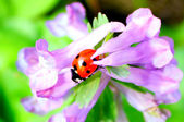 Ladybug on flower2 — Stock Photo