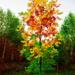 Stock Photo: Turned yellow birch