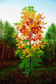 The turned yellow birch — Stock Photo