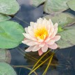 Pink lotus blossoms or water lily flowers blooming  — Stock Photo