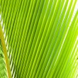 Green palm frond closeup — Stock Photo
