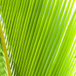 Stock Photo: Green palm frond closeup