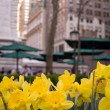 Yellow Daffodils blooming during Spring in New York — Stock Photo #12722870