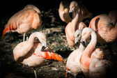 The envy of two pink flamingos — Stock Photo
