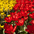 Stock Photo: Tulip flower in spring