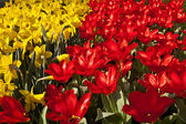 Tulip flower in spring — Stock Photo
