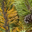 Pine code on the mugo pine — Stock Photo