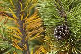 Pine code on the mugo pine — Stock Photo