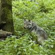 Wolf in the forest — Stock Photo