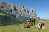 Grazing cows, Seiser Alm — Stock Photo