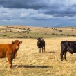 Beautiful landscape with cattle and dark clouds at sunset, Castilla y Leon region, Spain — Stock Photo