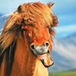Icelandic horse — Stock Photo #24224209