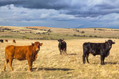 美丽的风景与牛和乌云在日落,卡斯蒂利亚 y leon 区域、 西班牙 — 图库照片