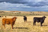Beau paysage avec le bétail et les nuages sombres au coucher du soleil, castilla y leon région, espagne — Photo