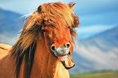 Islandshäst — Stockfoto