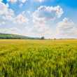Beautiful landscape with cornfield and trees in Tuscany, Italy — Stock Photo #26383995