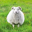 Cute sheep in Iceland staring into the camera — Foto de Stock