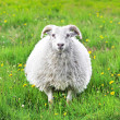 Cute sheep in Iceland staring into the camera — Stock Photo
