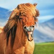 Stock Photo: Icelandic horse smiling