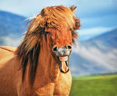 Icelandic horse smiling — Stock Photo