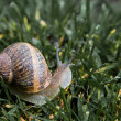 Stock Photo: Snail in the grass