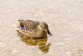 Gölde yüzmeye yaban ördeği — Stok fotoğraf