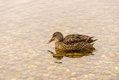 Wild duck bad i sjön — Stockfoto