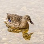 Wild Duck Swimming in the Lake — Stock Photo
