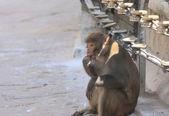 Tidbit eating sacred monkey. — Stock Photo